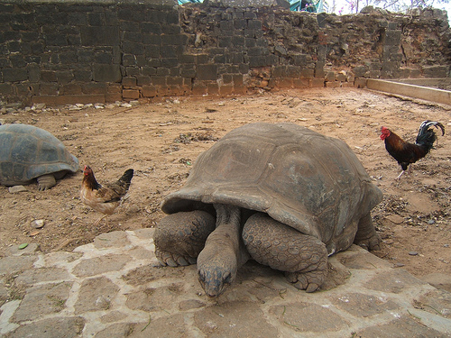 tartarughe giganti