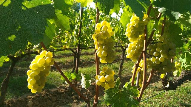 franciacorta uva